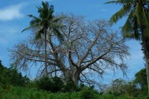 Baobab Tree (Adansonia digitata), packet of 5 seeds