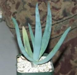 Aloe castanea (Cat's Tail Aloe) potted plant, organic