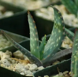 Aloe littoralis (Windhoek Aloe), packet of 10 seeds