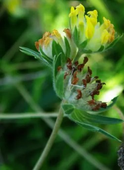 Vetch, Kidney (Anthyllis vulneraria), packet of 50 seeds, organic