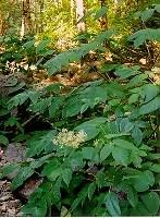 Native American Spirit Plants Seed Collection: Beeplant, Rocky Mountain; Bergamot, Mixed; Mugwort, Western; Spikenard, Eastern; Sage, White; Tobaccos--Hopi & Desert