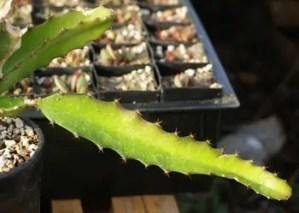 Dragon Fruit (Hylocereus undatus) potted plant, organic