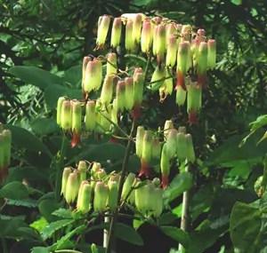 Life Plant, Mpovupovu Ziwa (Bryophyllum pinnatum) potted plant, organic