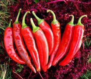 Pepper, Guajillo (Capsicum annuum), packet of 50 seeds, organic