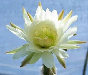 Cactus, Peruvian Torch (Trichocereus peruvianus), packet of 20 seeds