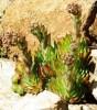 Hen-and-Chicks (Sempervivum tectorum), packet of 300 seeds, organic