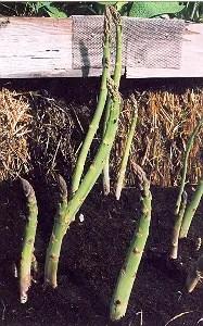 Asparagus, Garden (Asparagus officinalis), packet of 100 seeds