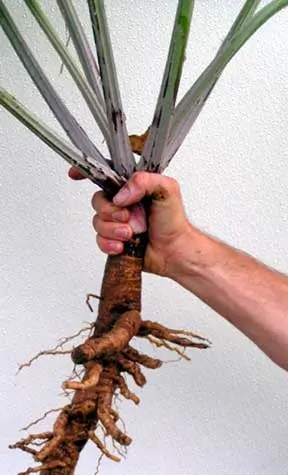 Burdock Greater Herb Seeds 100 Seeds
