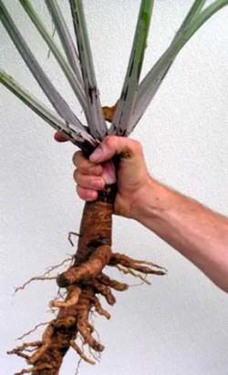 Burdock, Gobo (Arctium lappa), packet of 100 seeds, organic