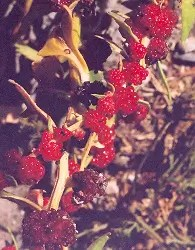 Beetberry (Chenopodium capitatum), packet of 100 seeds, organic
