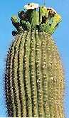 Cactus, Giant Saguaro (Carnegia gigantea), packet of 100 seeds