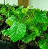 Annatto (Bixa orellana) potted plant, organic - TOP SIZE!