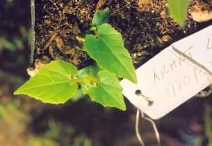 Arhat Fruit* (Momordica grosvenori) (Siraitia grosvenorii) potted vine, organic