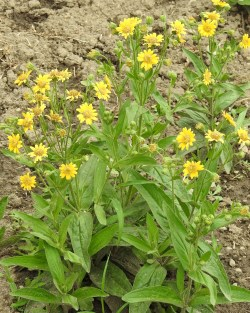 Arnica chamissonis potted plant, organic