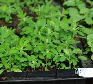 Astragalus (Astragalus membranaceus) potted plant, organic