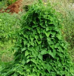 Bai-shou-wu* (Cynanchum auriculatum) potted vine, organic
