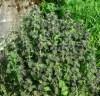 Horehound, Black (Ballota nigra), potted plant, organic ON SALE!