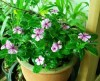 Periwinkle, Madagascar* (Catharanthus roseus) potted plant, organic--ON SALE!