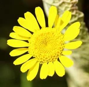 Chamomile, Dyers* (Anthemis tinctoria) potted plant, organic