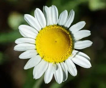 250 ORANGE MARGUERITE DAISY Anthemis Sancti-Johannis Chamomile Herb Flower Seeds