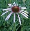 Echinacea simulata potted plant, organic