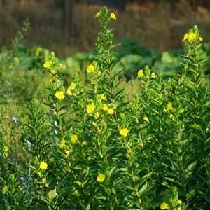 Evening Primrose (Oenothera biennis) potted plant, organic