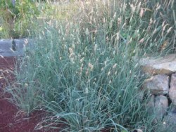 Grass, Phalaris (Phalaris aquatica), potted plant, organic