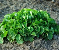 Gotu Kola (Centella asiatica) potted plant, organic