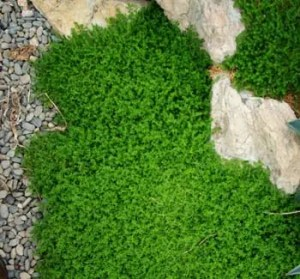 Rupturewort (Herniaria glabra), potted plant, organic