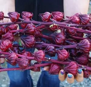 Hibiscus (Roselle) (Hibiscus sabdariffa) potted plant, organic