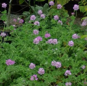"""Geranium, Scented """"Isadora"""" (Pelargonium capitatum) potted plant, organic"""