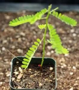 Jequirity* (Abrus precatorius) potted plant, organic