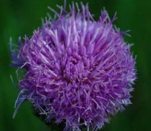 Maralroot* (Leuzea carthamoides), potted plant, organic