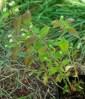 Mint, Mayan (Lippia dulcis) potted plant, organic