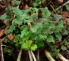 Nettles, Stinging (Urtica dioica) potted plant, organic