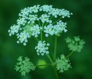 Osha (Ligusticum porteri) potted plant, organic