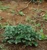 Geranium, Umcka (Pelargonium sidoides) potted plant, organic