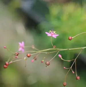 Fame Flower (Talinum paniculatum), potted plant, organic