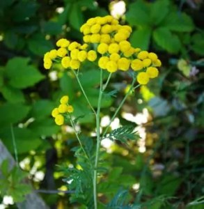 Tansy (Tanacetum vulgare) potted plant, organic