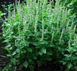 Tulsi, Temperate -- Holy Basil (Ocimum sp) potted plant, organic