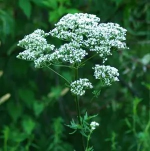 Valerian, Select (Valeriana officinalis), potted plant, organic