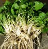 Wasabi (Wasabia japonica) potted plant, organic