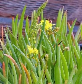 Bulbine, Burn Jelly Plant (Bulbine frutescens), potted plant, organic