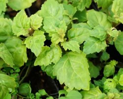 Patchouli, True (Pogostemon cablin) potted plant, organic ON SALE
