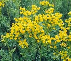 Rue (Ruta graveolens) potted plant, organic