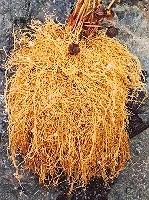 Virginia Snakeroot (Aristolochia serpentaria) potted vine, organic