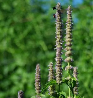 Mint, Licorice (Agastache foeniculum), packet of 50 seeds