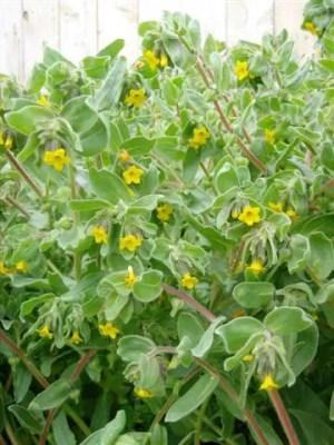 Alkanet, Oriental (Alkanna orientalis) packet of 30 seeds, organic