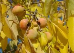 Persimmon, Wild Form (Diospyros virginiana), packet of 10 seeds, organic