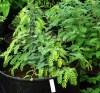Amla Tree (Emblica officinalis) potted tree, organic
